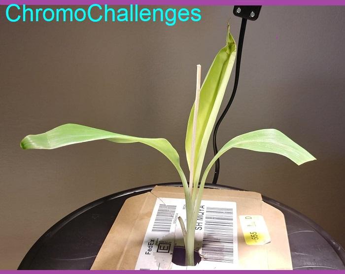 ChromoChallenges Jess Plummer Hydroponic Gardening Banana Plant Arrival